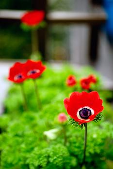anemone1452b.jpg