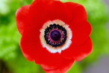 anemone1455b.jpg